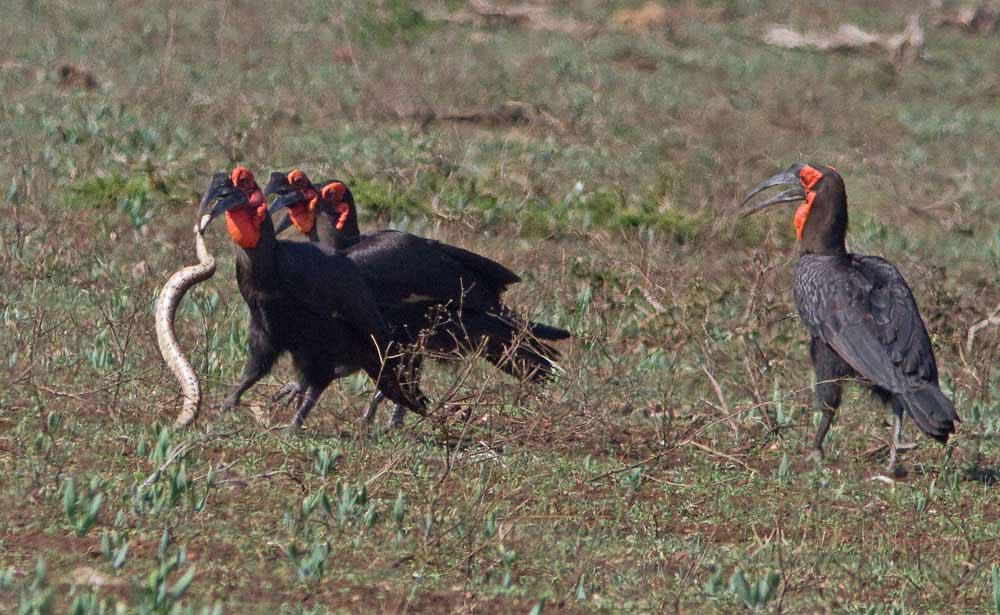 ground-hornbill--puff-adder